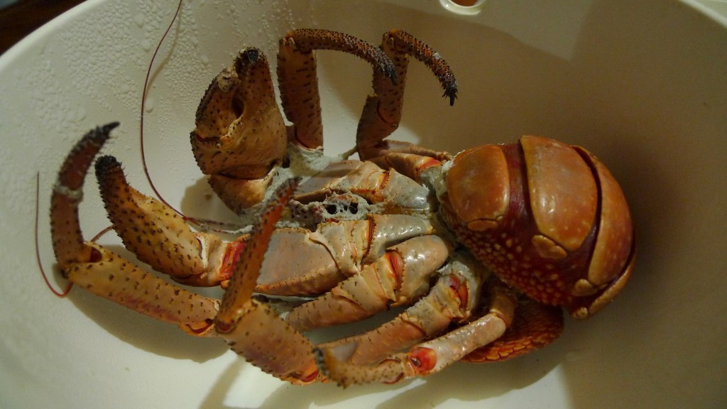 Coconut Crab - Only in Batanes! Yummeh!